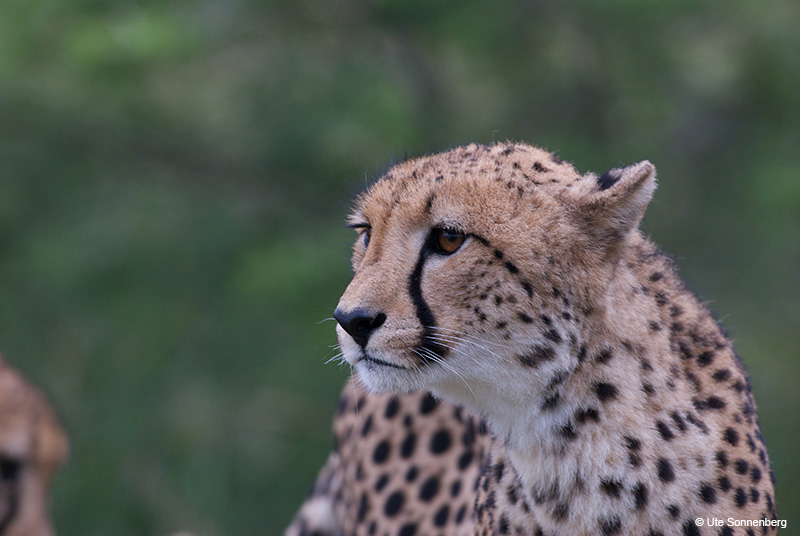 africas-big-cats-on-your-safari-holiday