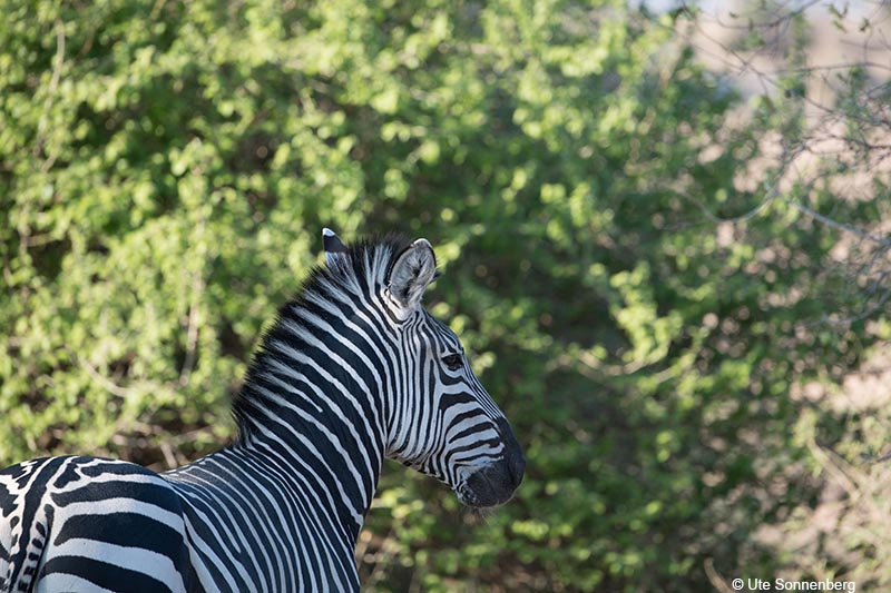 learn-about-zebras-on-african-safaris